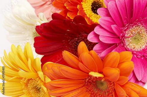 Poster Gerbera close-up of colorful gerbera flowers