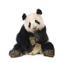 Giant Panda (18 Months) - Ailu...