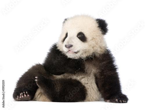 Stickers pour porte Panda Giant Panda (6 months) - Ailuropoda melanoleuca