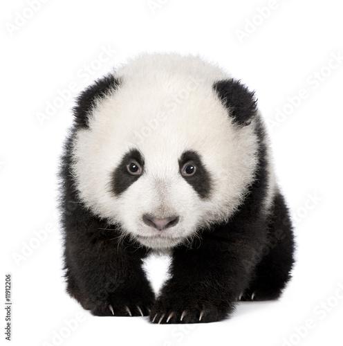 Autocollant pour porte Panda Giant Panda (4 months) - Ailuropoda melanoleuca