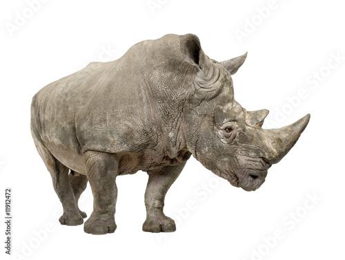 Poster Rhino White Rhinoceros - Ceratotherium simum ( +/- 10 years)