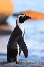 The African Penguin