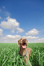 A Dog In A Green Wheat Field