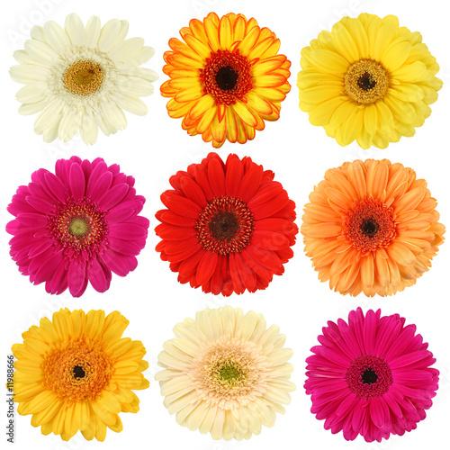 Fototapeta Daisy flower collection isolated on white background obraz na płótnie
