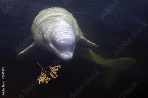 Beluga whale with seaweed Fototapet