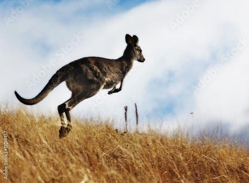Poster Kangaroo Kangaroo