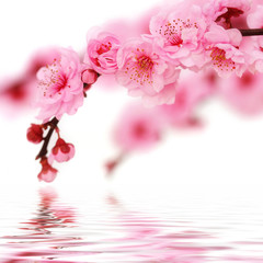 Fototapeta Spring cherry flowers reflected in rendered water