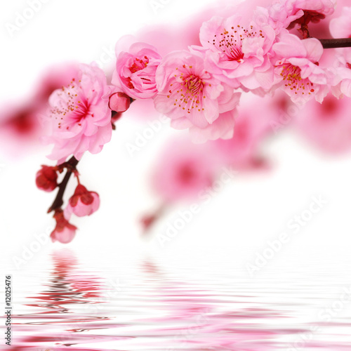 Spring cherry flowers reflected in rendered water