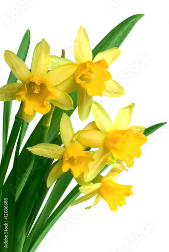 Deurstickers Narcis Yellow spring narcissus