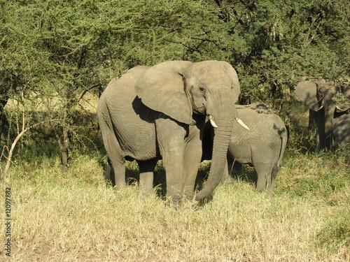 Canvas Prints Elephant elefanti nella savana