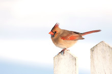 Female Cardinal On A Picket Fince