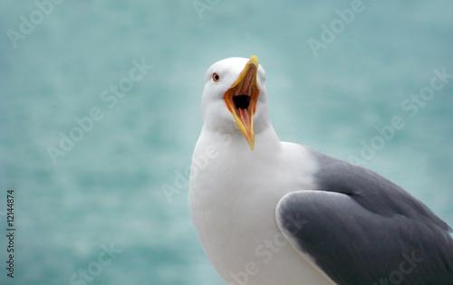 Fényképezés Screaming gull