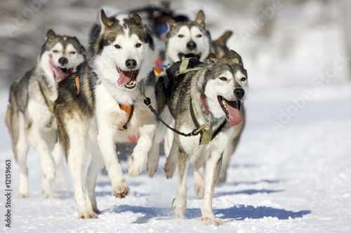 husky race Canvas Print
