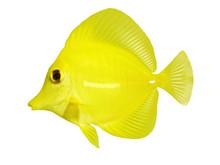 Full Side Macro Of Yellow Tang...