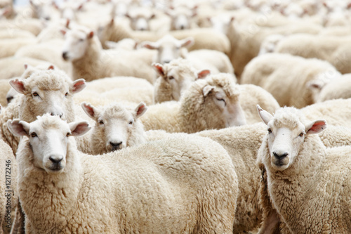 Tuinposter Schapen Herd of sheep