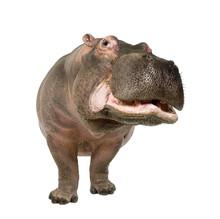 Hippopotamus - Hippopotamus Am...