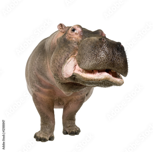 Hippopotamus - Hippopotamus amphibius ( 30 years) Tableau sur Toile