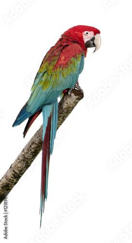 Fond de hotte en verre imprimé Perroquets Green-winged Macaw - Ara chloropterus (18 months)