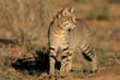 canvas print picture - African wild cat (Felis silvestris), Kalahari, South Africa
