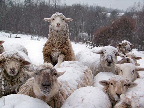 Fotografie, Obraz  sheep flock in winter