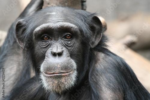 Obraz Schimpanse - fototapety do salonu