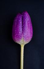 Single Purple Tulip On Black