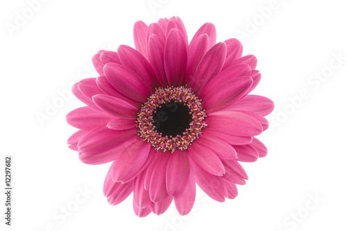 Foto op Plexiglas Gerbera long shot of purple gerbera