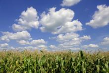 Corn Tasseling In Field