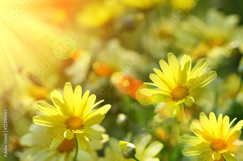 Foto-Duschvorhang - Closeup of yellow daisies with warm rays