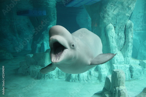 Obraz na plátně Beluga 2