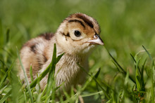 Pheasant Chick In Field Of Grass