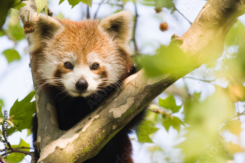 Curious red panda Tablou Canvas
