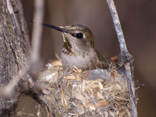 Wild Female Humming Bird On Nest