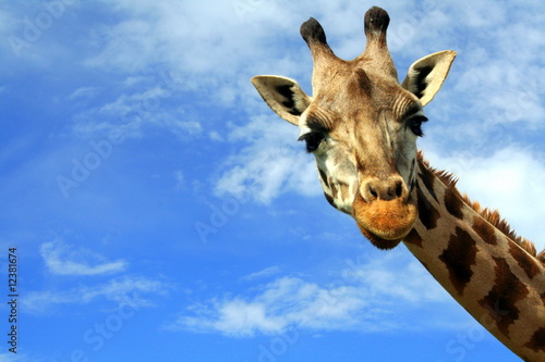 Spoed Foto op Canvas Giraffe How Do You Do?