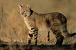 canvas print picture An African wild cat (Felis silvestris lybica), South Africa