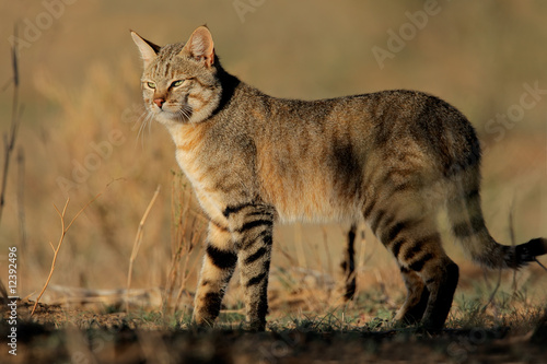 Photo  An African wild cat (Felis silvestris lybica), South Africa