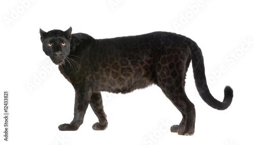 In de dag Panter Black Leopard (6 years)