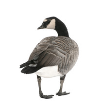 Mixed-Breed Goose Between Canada Goose And Barnacle Goose  ( /-