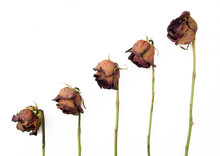 Row Of 5 Old Dried Red Roses A...
