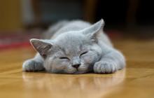 Sleeping Cat Puppy