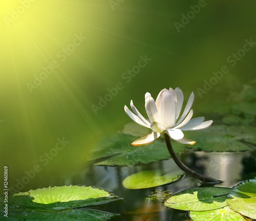 Foto op Canvas Lotusbloem Lily flower on a green background