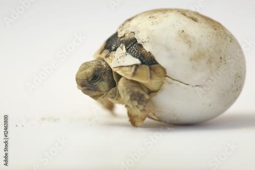 Cadres-photo bureau Tortue Schildkröte Ei schlüpfen testudo marginata Landschilkröte
