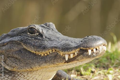 Garden Poster Crocodile Alligator Head Shot