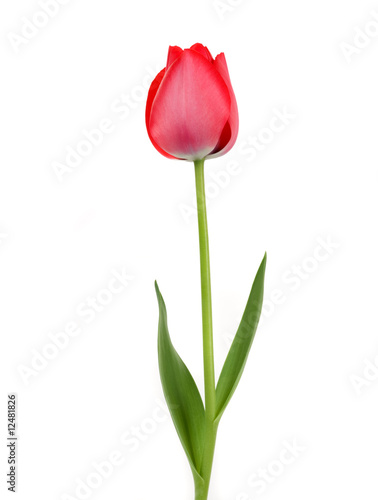Spoed Foto op Canvas Tulp Beautiful Tulip