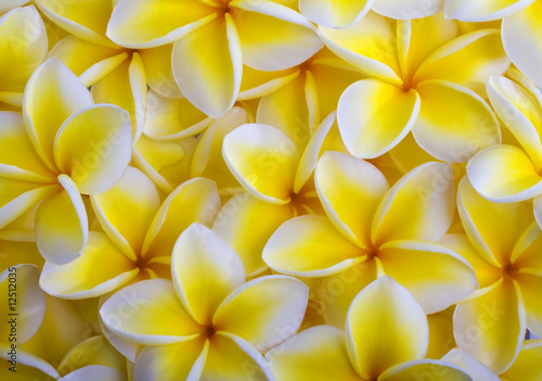 In de dag Frangipani a background of yellow plumeria blossoms from Hawaii