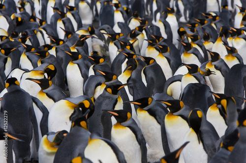 Stickers pour porte Pingouin königspinguine