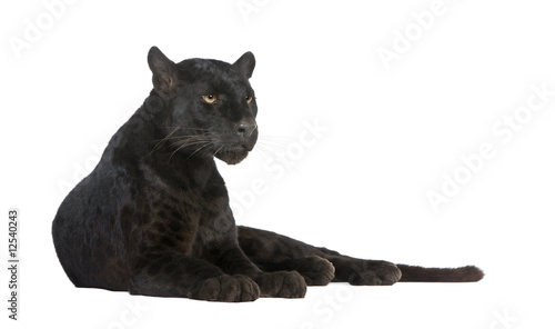 Fotobehang Panter Black Leopard (6 years)