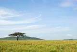 Fototapeta Sawanna - An acacia tree in a savannah