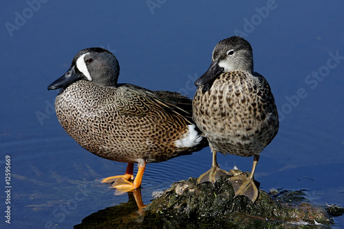 Photo Pair of Blue-winged Teal