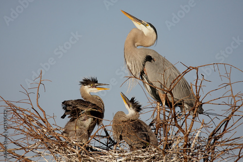 Sticker - Great Blue Heron With Babies